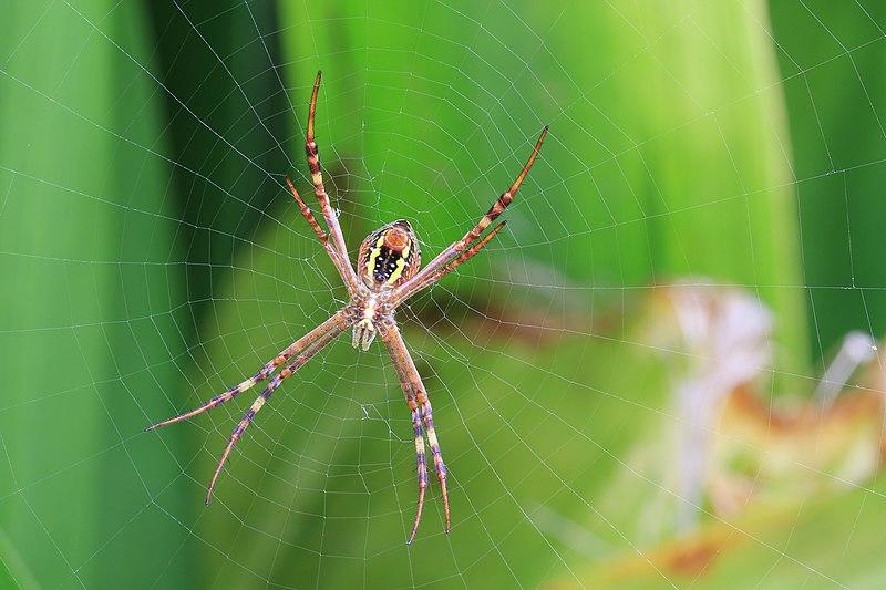 File:Argiope keyserlingi, St Andrew's Cross Spider, Sydney.JPG