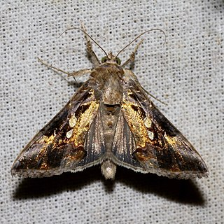 <i>Argyrogramma signata</i> Species of moth