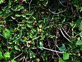 Aristolochia sempervirens - Flickr - peganum (1).jpg