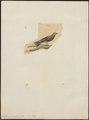 Artamus sordidus - 1833-1839 - Print - Iconographia Zoologica - Special Collections University of Amsterdam - UBA01 IZ16400133.tif