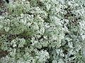 Artemisia absinthium.jpg