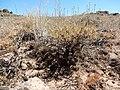 Artemisia arbuscula (28516522586).jpg