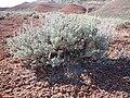 Artemisia tridentata wyomingensis (7283966482).jpg