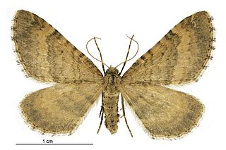 <i>Asaphodes aegrota</i> species of moth