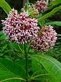 Asclepias syriaca - Common Milkweed.jpg