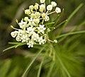 Asclepias verticillata (3197723098).jpg