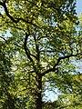 Ash trees in Perivale Wood - geograph.org.uk - 1279793.jpg