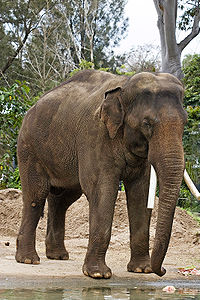 Elefante asiático do Zoo de Melbourne