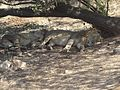 Asiatic lions2.jpg
