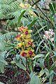Asparagales - Cymbidium 'Loch Rosail' - 1.jpg