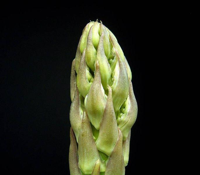 Asparagus officinalis asperge verte