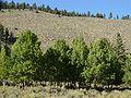 Aspen grove-750px.jpg