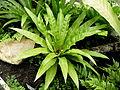 Asplenium nidus (2).JPG