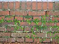 Asplenium scolopendrium on brick wall in NW Germany.jpg