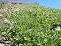 Astragalus alpinus (6120429317).jpg
