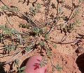 Astragalus nuttallianus var imperfectus 7.jpg
