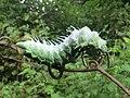 Attacus atlas - Atlas moth caterpillar at Mayyil (8).jpg