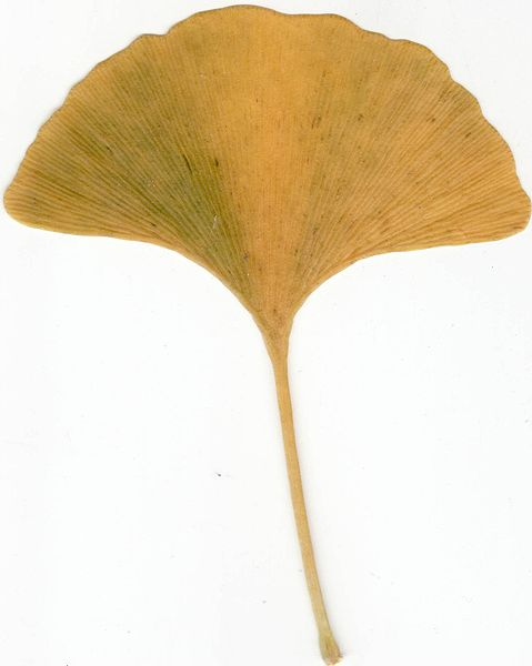 File:Autumn Ginkgo Leaf.jpg