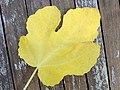 Autumn leaf (Netherlands 2012) (8118788557).jpg