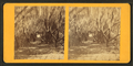 Avenue of Olives, Cumberland Island, Ga, from Robert N. Dennis collection of stereoscopic views.png