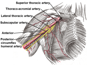 Subscapular artery - Axillary artery and its branches, including subscapular artery - anterior view of right upper limb and thorax.