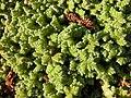 Azolla filiculoides plant (01).jpg