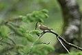 Bøksanger.. (Phylloscopus sibilatrix) Wood Warbler.jpg