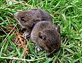 Baby bank voles - Flickr - gailhampshire (1).jpg