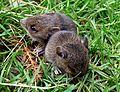 Baby bank voles - Flickr - gailhampshire (1).jpg