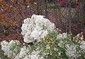 Baccharis halimifolia bush.jpg