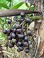 Bactris maraja (ñeja) (Arecaceae) (Ucayali) (Perú).jpg