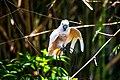 Balinese pink parrot.jpg