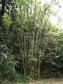 Bamboo, El Yunque National Rain Forest - Flickr - Jay Sturner (1).jpg