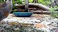 Banded Rail approaching video camera (32473317011).jpg