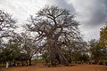 Baobab Tree, Messina District 01.JPG