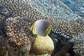 Baroness butterflyfish Chaetodon baronessa (5817065798).jpg