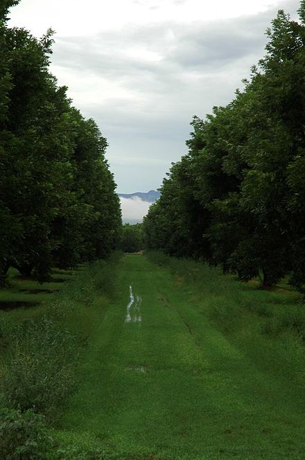 A view of the Pecan groves, with a glimpse of Santa Rita Mountains in the background, during the August monsoons (2007). Basgen-fico-groves.jpg