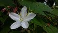 Bauhinia acuminata 2 Flower.jpg