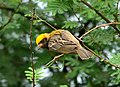 Baya Weaver Ploceus philippinus male Breeding plumage by Dr. Raju Kasambe DSC 5420 (16).jpg