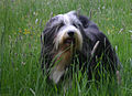 Bearded Collie Multi Champion Firstprizebears Apache Balbriggan 1.jpg