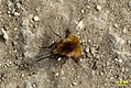 Bee fly (RL) (17286412521).jpg