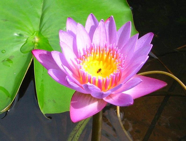 சேனையின் நுழைவாயில் 795px-Bee_in_Lotus