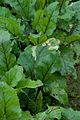 Beet greens with damage (8070455875).jpg
