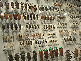 Entomology - Part of a large beetle collection.