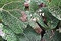 Begonia gehrtii (17053671408).jpg