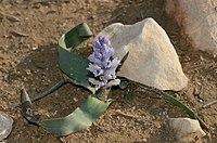 B. desertorum