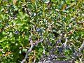 Berberis microphylla-CTJ-IMG 7208.jpg
