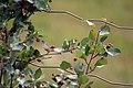Berries on Wire (888081362).jpg