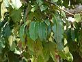 Bertholletia excelsa ehk parapähklipuu lehed.jpg