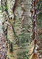 Betula alleghaniensis kz01.jpg